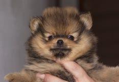 微型德国波美丝毛狗Pomeranian小狗 图库摄影