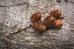微型杉木锥体 免版税库存照片