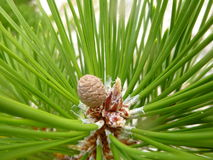 微型杉木锥体 库存图片