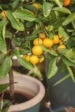 微型柑橘树 库存图片