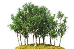 微型树,盆景,隔绝在白色背景 免版税库存照片