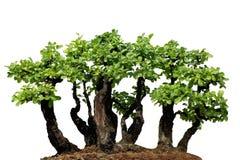 微型树,盆景,隔绝在白色背景 免版税库存图片