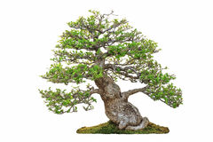 微型树,盆景,隔绝在白色背景 库存图片