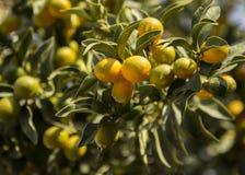 微型桔子金桔树分支与雨珠的 免版税图库摄影
