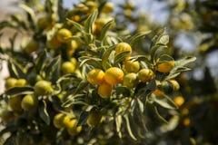 微型桔子金桔树分支  免版税图库摄影