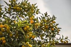 微型桔子金桔树分支  免版税库存照片