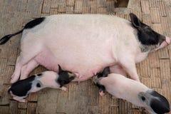 微型猪家庭在大农场农场 库存照片