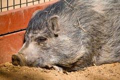 微型猪打瞌睡星期日 免版税图库摄影