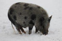 微型猪 库存照片