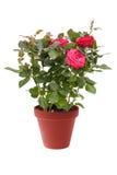 微型的室内植物上升了与在白色背景隔绝的一个棕色罐的红色花 图库摄影