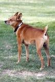微型的狗 免版税库存照片
