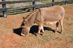 微型的驴 免版税库存图片