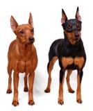 微型短毛猎犬二 免版税图库摄影