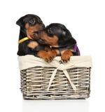 微型短毛猎犬小狗使用 库存图片