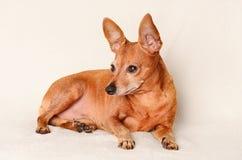 微型短毛猎犬放松 免版税库存照片