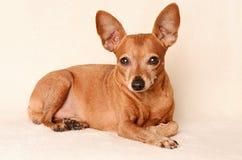 微型短毛猎犬放松 免版税库存图片