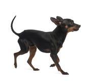 微型短毛猎犬, 10个月 免版税库存照片