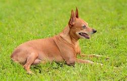 微型短毛猎犬以绿色 免版税图库摄影