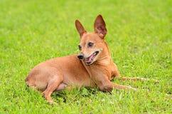 微型短毛猎犬以绿色 图库摄影