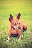 微型短毛猎犬以绿色 免版税库存图片