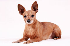 微型短毛猎犬 图库摄影