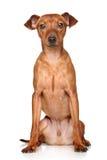 微型短毛猎犬 库存照片