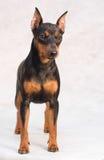 微型短毛猎犬 库存图片