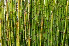 微型竹绿色纹理  免版税图库摄影