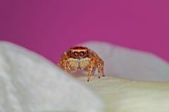 微型蜘蛛 免版税库存照片