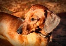 微型达克斯猎犬软件集中的查找 库存图片