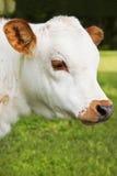微型长角牛小牛 免版税库存图片