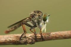 微型食虫虻 免版税库存照片