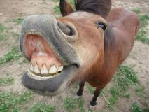 微型马和巨型的微笑 免版税库存照片