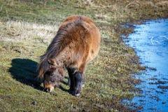 微型马在领域吃草 图库摄影