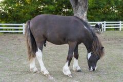 微型马 免版税库存图片