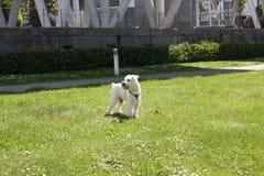 微型髯狗 免版税图库摄影