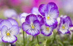 微型紫罗兰色花 库存图片