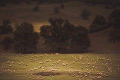 微型绵羊和一个农村风景 库存图片