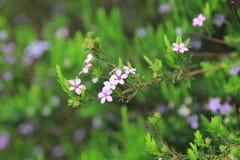 微型紫色花布什 库存照片