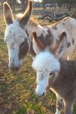 微型驴 库存图片
