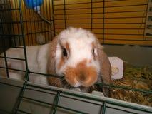微型Lop耳朵兔宝宝 免版税库存照片