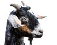 微型Nubian山羊III 库存图片