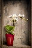 微型orchidee 免版税库存照片