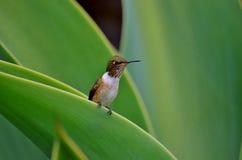 微小哼唱着的鸟 库存图片