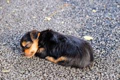 微小小狗睡觉 免版税库存图片