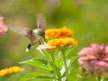 微小提供的花的蜂鸟 免版税库存图片