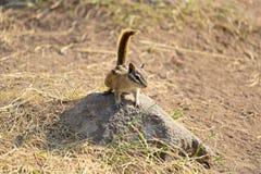 微小最少花栗鼠坐岩石 库存图片