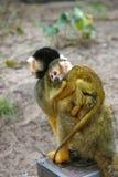 微小猴子的灰鼠 免版税库存图片