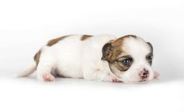 微小的三个星期年纪奇瓦瓦狗小狗 库存照片