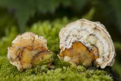 微小的多孔菌 库存图片